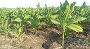 Harga Anjlok, Petani Tembakau di Tuban Beralih Tanam Kangkung