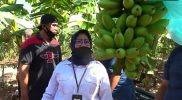 Melihat Potensi Pisang, Kementan RI Kunjungi Kebun Pisang di Lamongan