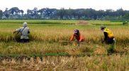 Puluhan Ribu Petani di Bojonegoro Terancam Tidak Dapat Membeli Pupuk Bersubsidi