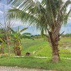 Sisa-sisa pohon kelapa di sekitar bekas Pasar Legi Kaliwot Bungah. Foto diambil pada hari Minggu (24/1). Foto: Ipunk/Progresnews.id.