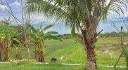 Sisa-sisa pohon kelapa di sekitar bekas Pasar Legi Kaliwot Bungah. Foto: Ipunk/Progresnews.id.